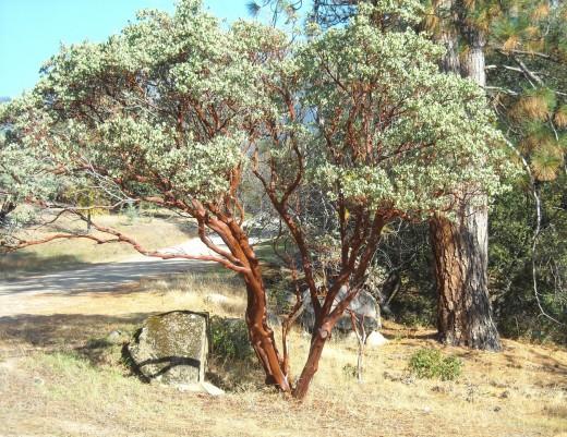 Manzanita bush.