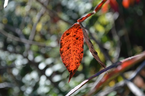 Photo 14 -  A leaf changing its colors, lit by the sunshine.