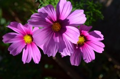 Cosmos Flowers - A Gallery