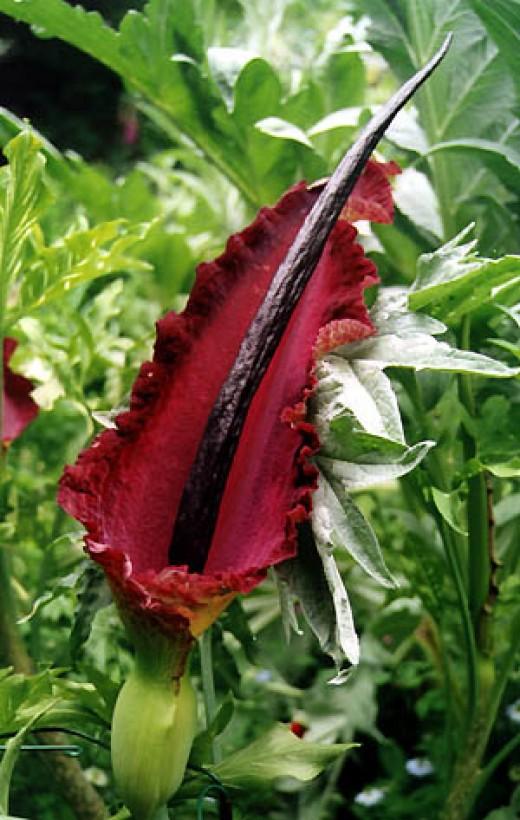 Dracunculus vulgaris.