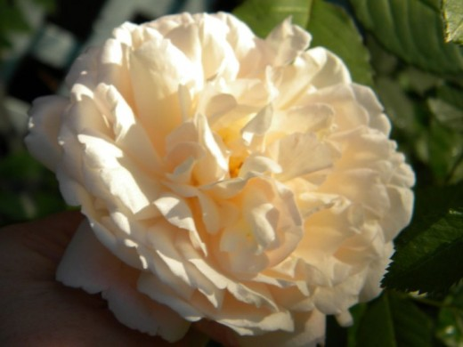 different types of roses - photo #21