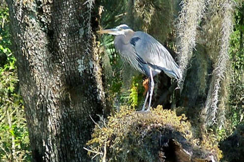 A Great Blue Heron watches over the water at Blue Spring looking for smaller fish for it's dinner.