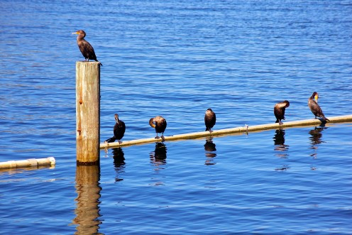 Anhingas take a break here.