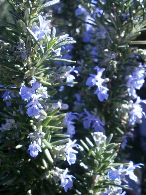 Rosemary infuses life and space with its sweet fragrance.