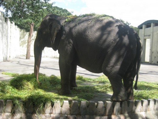 The elephant at the zoo