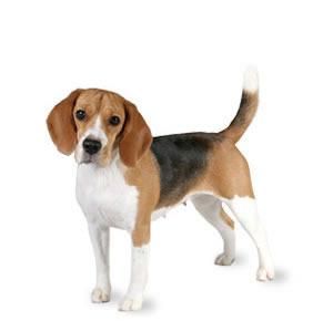 The Beagle.