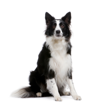 The Border Collie.