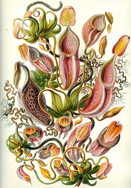 "Nepenthes from the work ""Kunstformen der Natur"" of the German biologist Ernst Haeckel."