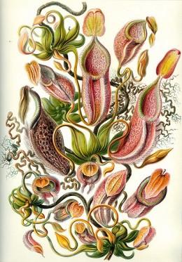 """Nepenthes from the work """"Kunstformen der Natur"""" of the German biologist Ernst Haeckel."""
