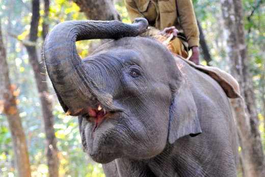Indian elephant in Chitwan Jungle.