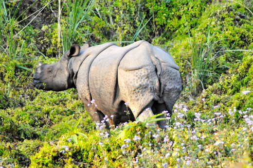 Extremely endangered White Rhino in Chitwan Jungle.