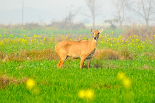 Samba deer grazing in the farmlands of Lumbini (birthplace of the Buddha).
