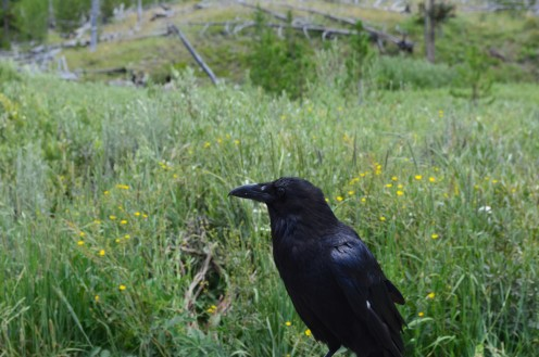 A big, friendly crow.