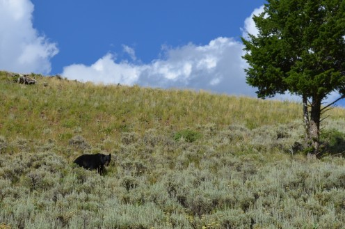 Another view of the black bear.