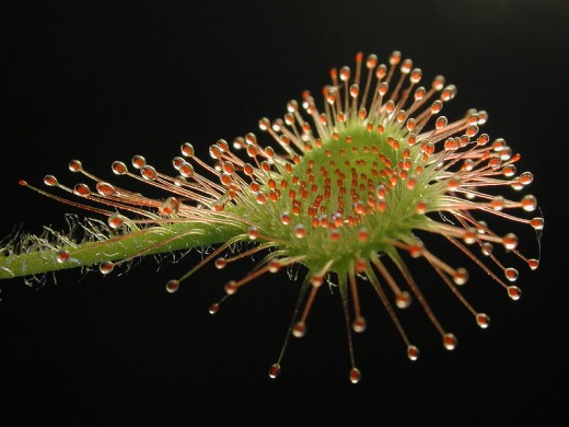 A leaf of Drosera rotundifolia, the Common Sundew.  This carnivorous plant has red filaments that produce a sugary, sticky liquid to attract and capture prey.