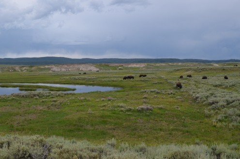 More Bison, toward the end of the day.  They were actually so beautiful to see.