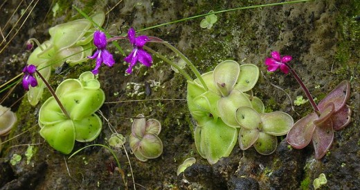 Pinguicula moranensis leaf and flower colour can be quite variable.