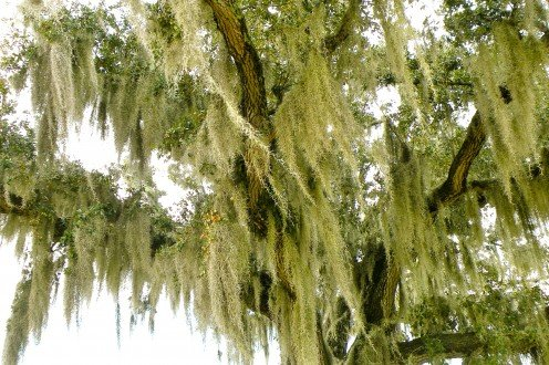 Lacey Spanish moss brings to mind romantic scenes of the old South.