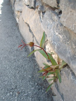 weeds growing out of rocks, very persistent
