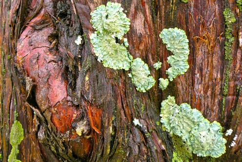 Bright green lichen on rain drenched wood.