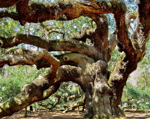 The Angel Oak, oldest living thing east of the Rocky Mountains.