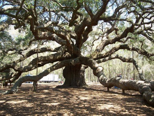 The 1,500 year old Angel Oak Tree in John's Island, South Carolina