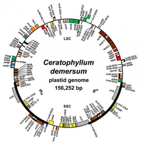 Chloroplast genome