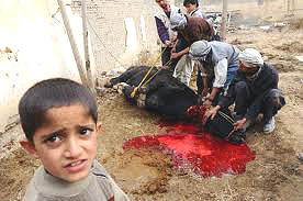 DOES THIS STEER LOOK LIKE HE HAS BEEN STUNNED??????? His head is up and he is alert as these Muslims carve away.