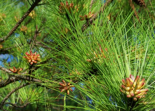Evergreen trees in bud.