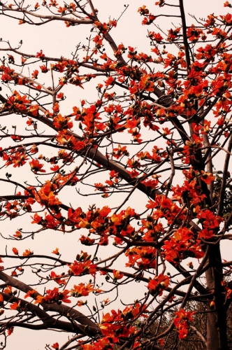 Silk cotton in full bloom