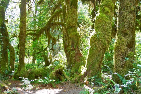 The trees of the Hoh rainforest are home to bromelaids, mosses and ferns as well as many kinds of birds and other wildlife.