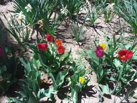A mixture of red, purple, and yellow tulips.