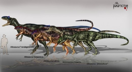 Various species of Allosaurus