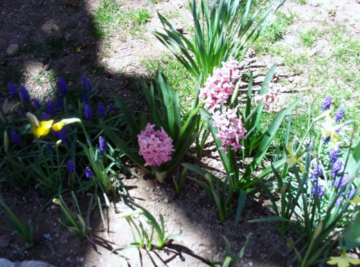Pink and purple hyacinths.