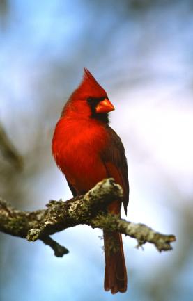 Our most familiar backyard bird.
