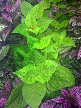 Coleus and Persian Shield
