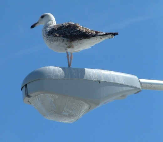 Seagulls love to rest on top of the fishing pier lights.