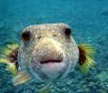 Interesting Puffer fish facts