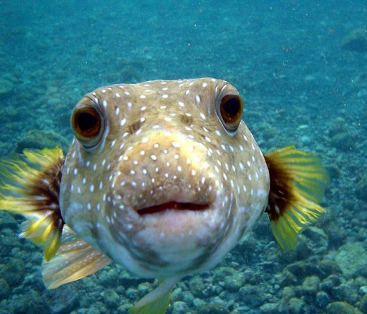 Puffer fish in normal shape
