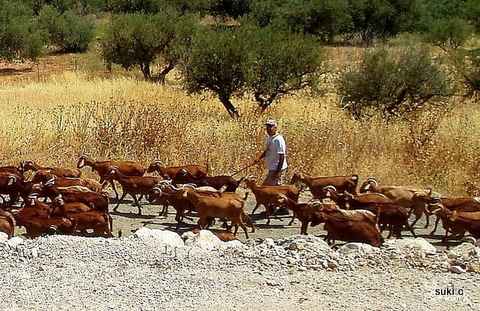 A typical scene of a goat herder out with his herd.