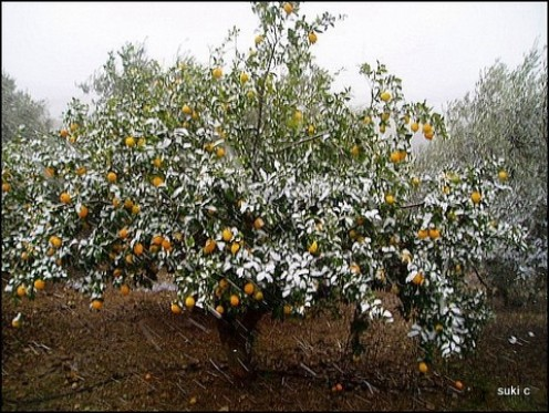 Our lemon trees with snow on last January