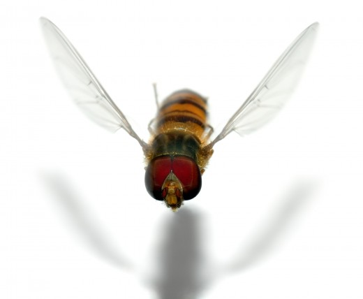A flying 12 mm large hoverfly called marmalade fly (Episyrphus balteatus).