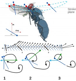 Diagram of fly in flight in the downstroke. The total force exerted and its direction are indicted by black arrows.  The magnitude and direction of the lifting forces are indicated by blue arrows.