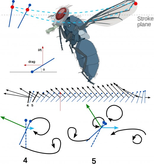 Diagram of a fly in flight, in the upstroke. The total force exerted and its direction are indicted by black arrows.  The magnitude and direction of the lifting forces are indicated by blue arrows.