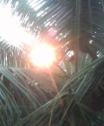 Sun Rise Seen Through The Coconut Leaves
