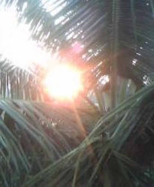 Sun Rise Seen Through The Coconut Leaves