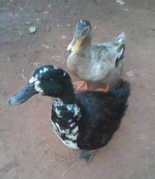 Ducks -small and meek