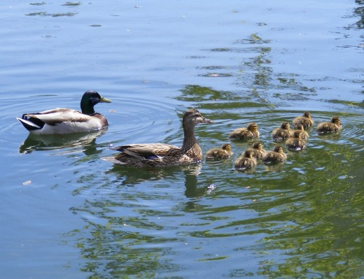 Duck family at the Riverwalk.  Riverside, California.