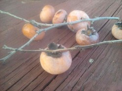 The persimmon is a fruit grown on trees.  It is a soft fleshy fruit with a tart, often bitter, taste.  It is good for jams!
