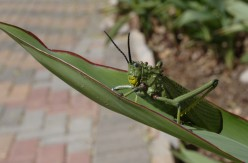 The Acrobatic Grasshopper